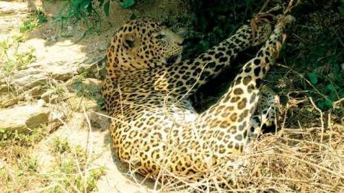 Injured leopard rescued-Sent to Bio Park