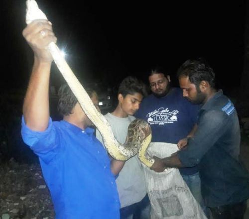 Indian Rock Python rescued from house in Chirwa