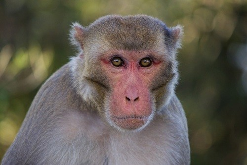 Man arrested with red-faced monkey