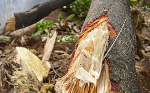 15 sandalwood trees chopped in a month