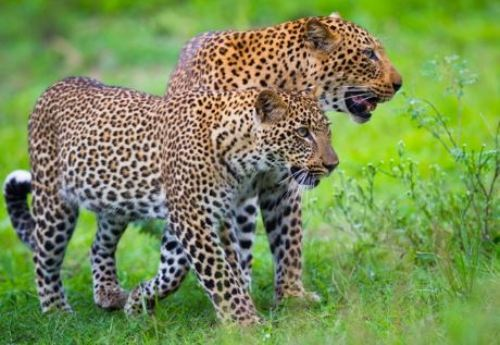 Panther pair on a walk in Gulab Bagh