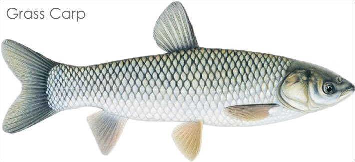 """""""Grass-carp"""" fish required for Udaipur lakes"""
