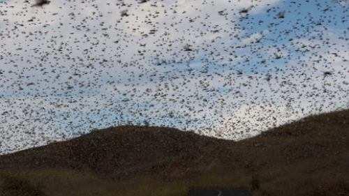 Fear of locust attack in Mewar-Administration alert