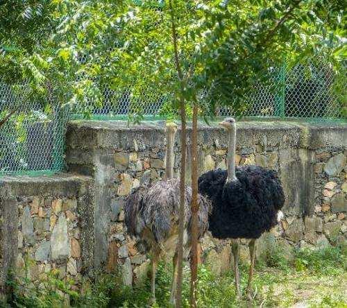 Sajjangarh Bio-Park welcomes 2 ostriches from Chennai