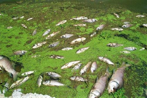 Contaminated water kills fishes in Lake Pichola
